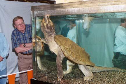 world record alligator snapping turtle  world record al...